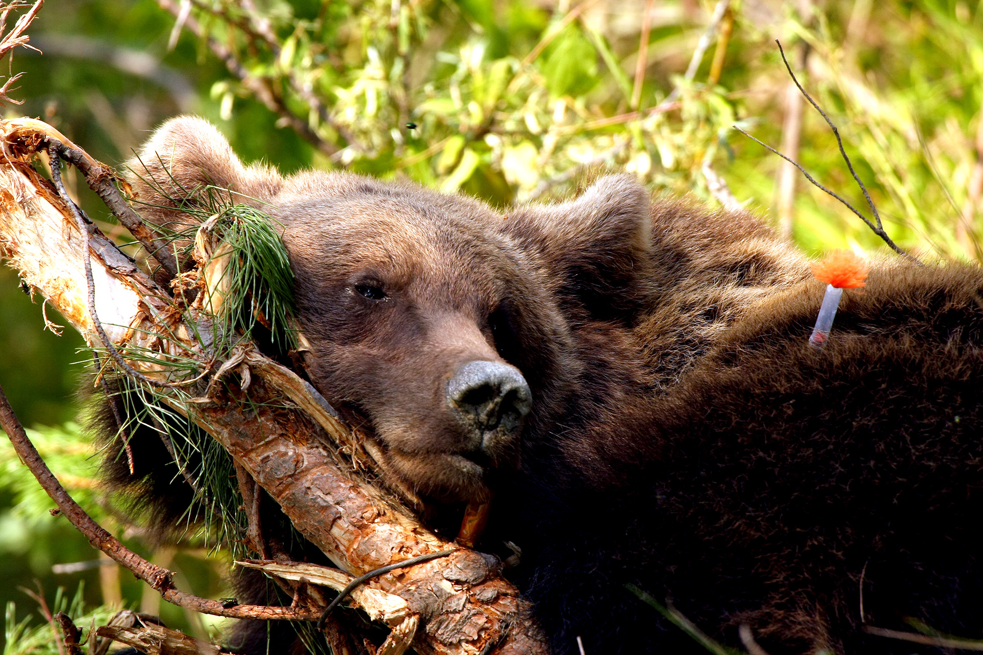 Eliberare urs din laț