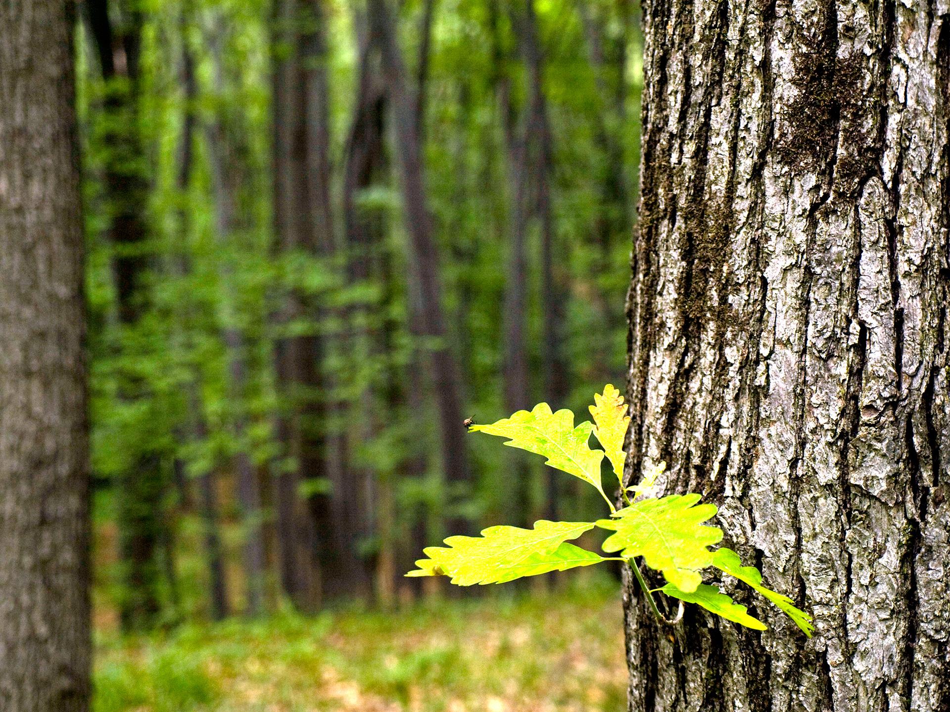 Padure stejar
